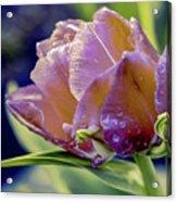 Golden Sunset Tulip Acrylic Print