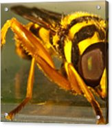Golden Syrphid Acrylic Print
