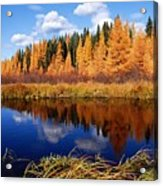 Golden Tamaracks Along The Spruce River Acrylic Print