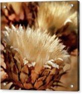 Golden Thistle II Acrylic Print