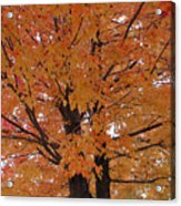 Golden Tree Acrylic Print