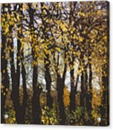 Golden Trees 1 Acrylic Print
