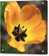 Golden Tulip Petals Acrylic Print