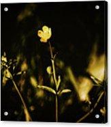 Golden Twinkles Acrylic Print