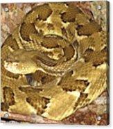 Golden Viper Acrylic Print