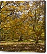 Golden Walnut Orchard II Acrylic Print