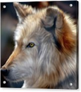 Golden White Wolf Acrylic Print