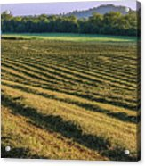 Golden Windrows Acrylic Print