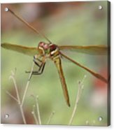 Golden-winged Skimmer Acrylic Print