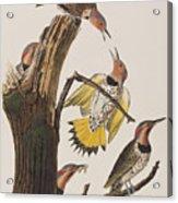 Golden-winged Woodpecker Acrylic Print