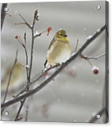 Golden With Snow Acrylic Print