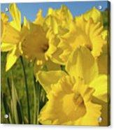 Golden Yellow Daffodil Flower Garden Art Prints Baslee Troutman Acrylic Print