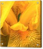 Golden Yellow Iris Acrylic Print