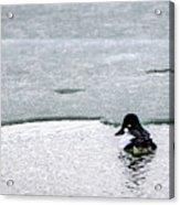Goldeneye On Ice's Edge Acrylic Print