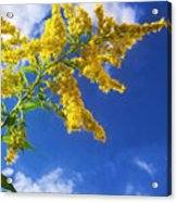 Goldenrod In The Sky Acrylic Print