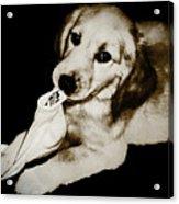 Golden's Best Friend Acrylic Print