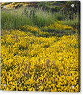 Goldfields And Grasses Acrylic Print