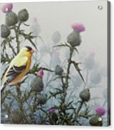 Goldfinch And Thistles Acrylic Print
