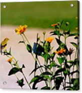 Goldfinch And Yellow Flowers Acrylic Print