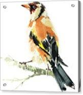 Goldfinch Bird  Acrylic Print