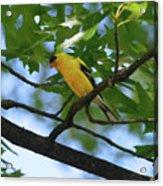 Goldfinch In Oak Tree Acrylic Print