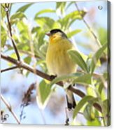 Goldfinch In Spring Tree Acrylic Print