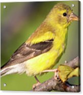 Goldfinch In The Early Morning  Acrylic Print