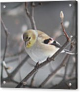 Goldfinch In Winter Acrylic Print