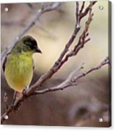 Goldfinch On Branch 032814a Acrylic Print