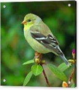 Goldfinch On Green Acrylic Print