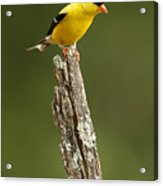 Goldfinch On Lichen Post Acrylic Print