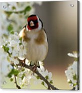 Goldfinch Spring Blossom Acrylic Print