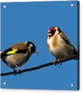 Goldfinch Spring  Acrylic Print