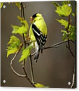 Goldfinch Suspended In Song Acrylic Print