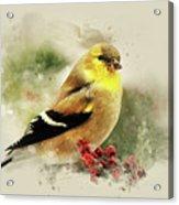 Goldfinch Watercolor Art Acrylic Print