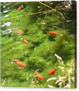 Goldfish In A Pond Acrylic Print