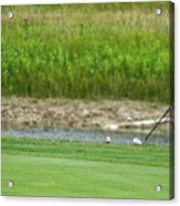 Golfing Chipping The Ball In Flight Acrylic Print