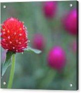 Gomphrena Flower Acrylic Print