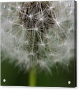 Gone To Seed - Color Acrylic Print