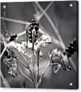 Gone To Seed Berries And Vines Acrylic Print