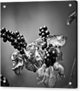 Gone To Seed Blackberry Lily Acrylic Print
