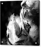 Gone To Seed Milkweed 1 Acrylic Print
