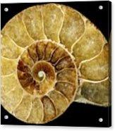 Goniatite Fossil Acrylic Print by Pasieka