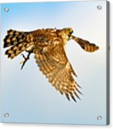 Good Hawk Hunting Acrylic Print