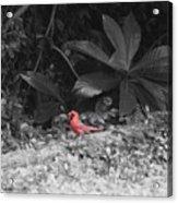 Good Morning Cardinal  Acrylic Print