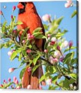 Good Morning Mr Cardinal  Acrylic Print