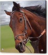 Good Morning - Racehorse On The Gallops Acrylic Print