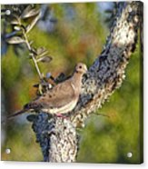 Good Mourning Dove By H H Photography Of Florida Acrylic Print