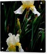 Goodnight Iris Acrylic Print