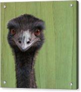 Goofing Around Emu Acrylic Print